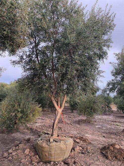Manzanillo Olive Tree Olives Unlimited