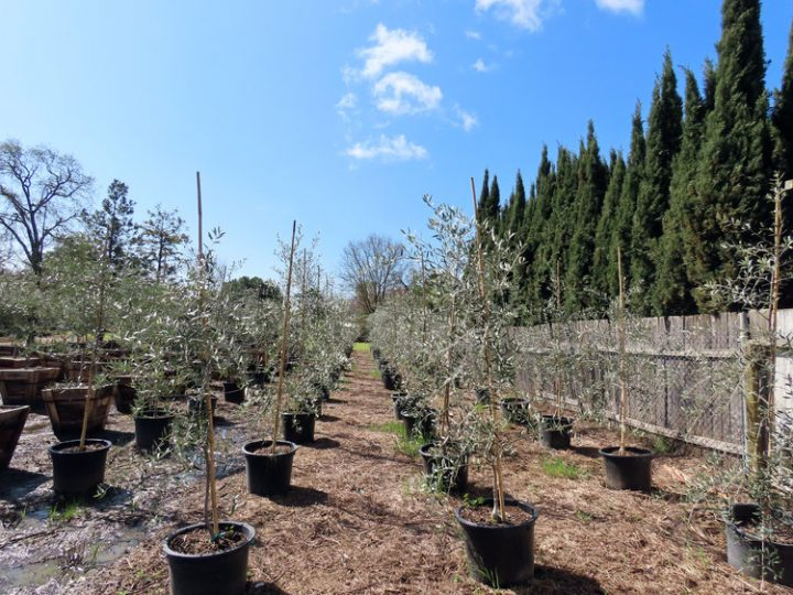 Koroneiki Olive Tree Olives Unlimited