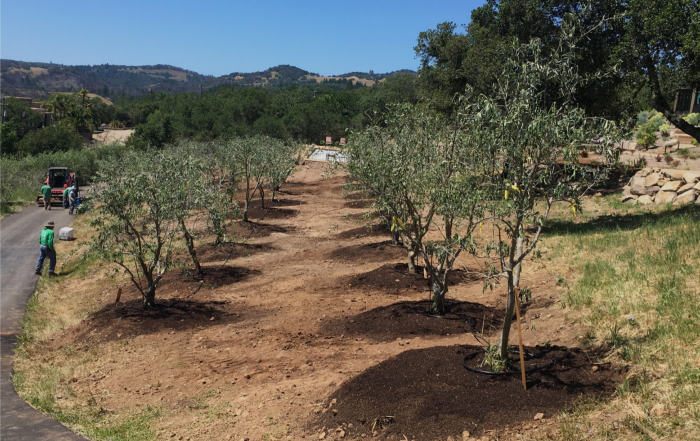 Fruiting Olive Trees