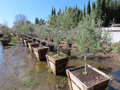 Arbequina Olive Trees 24 inch box