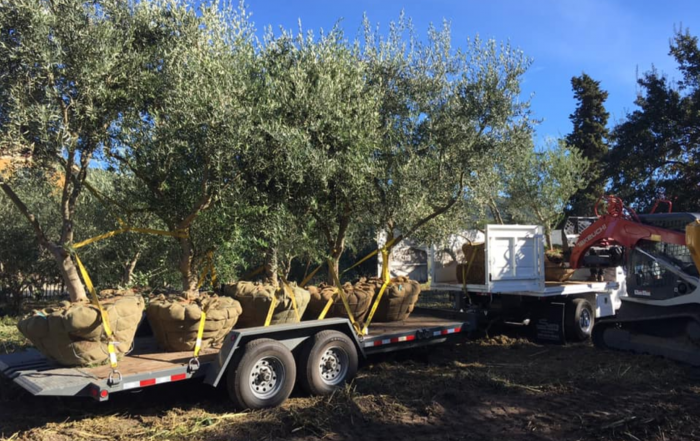 Olive Tree Delivery