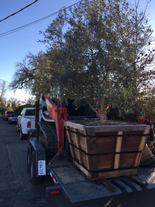 Olive Tree in Transport