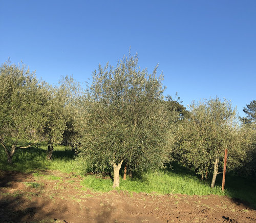 Field Grown Olive Trees