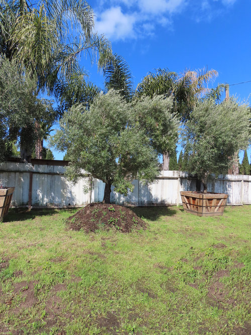 Field Grown Olive Tree