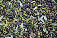 Harvested Olives