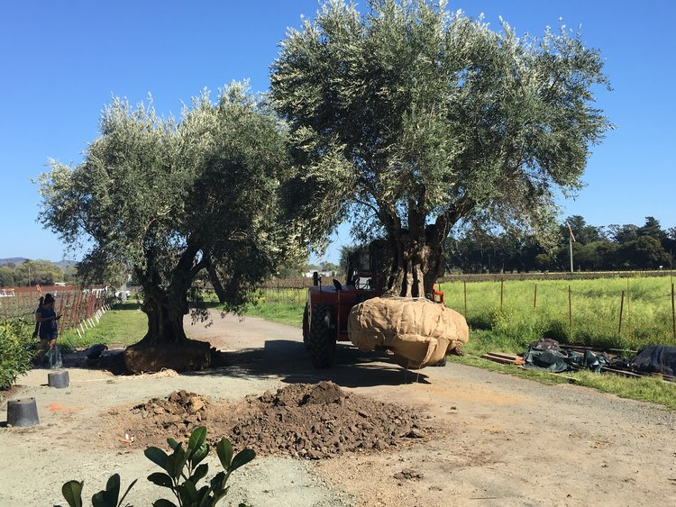 Ancient Olive Install Tractor Image