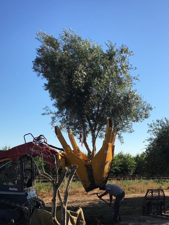 Olive Tree Installation