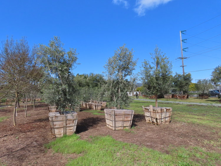 Fruitless Olive Trees