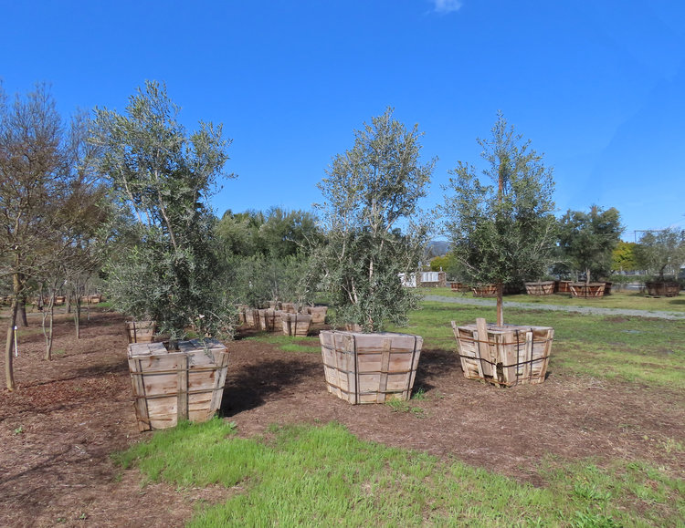 Swan Hill Olive Trees in 36 inch boxes