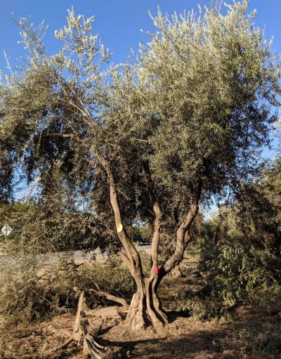 Multi-trunked Ancient Olive Tree