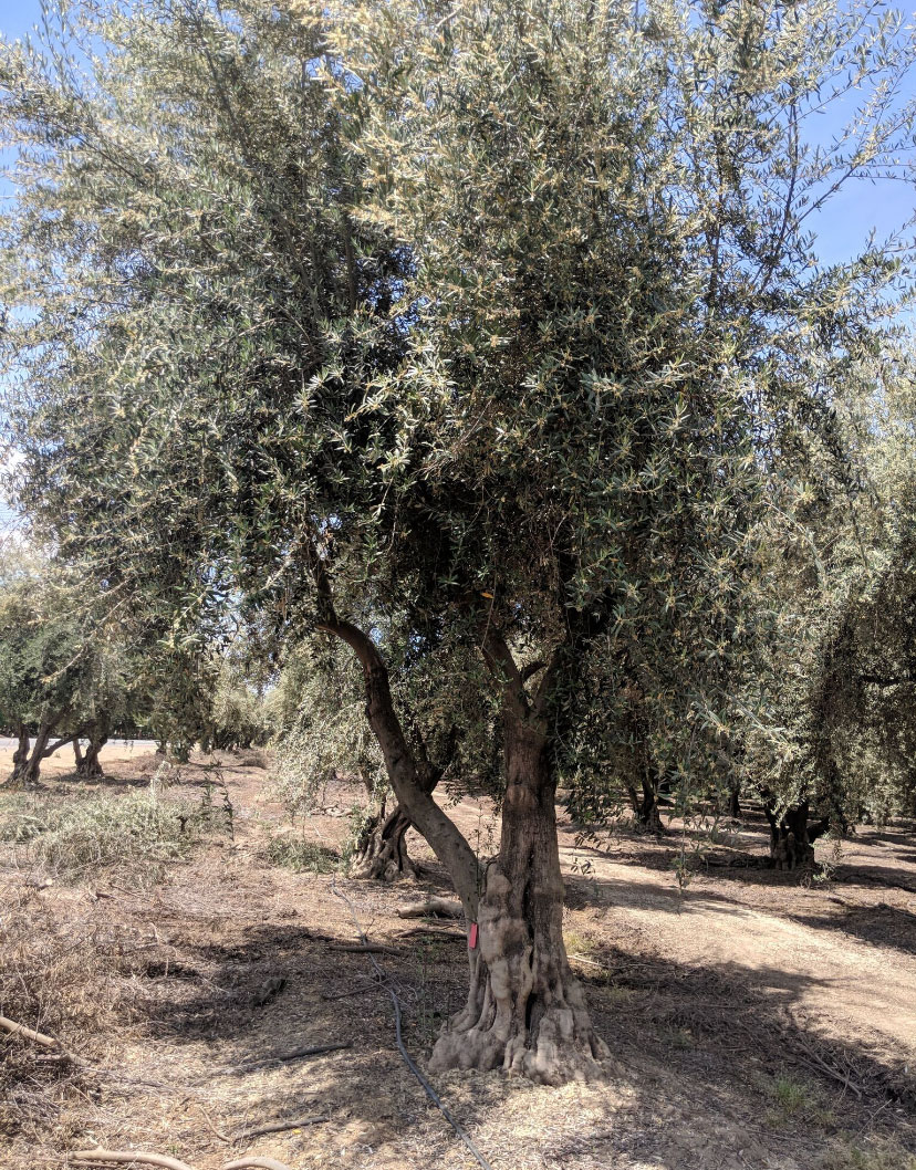 Ancient olives dense canopy