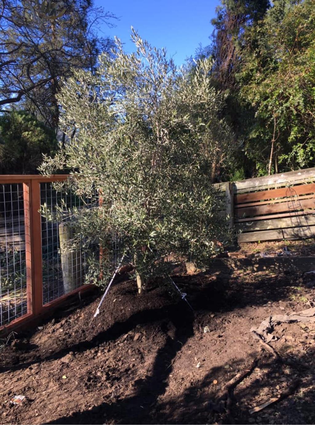 Olive Tree Hillside Installation