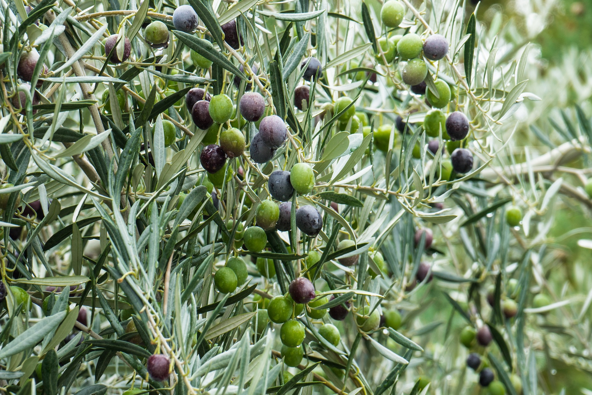 Olives on Olive Tree Branches