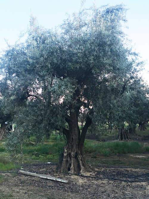 Ancient Olive Tree Crown
