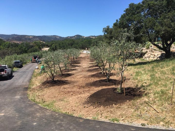 Olive orchard w/staked trees, good distance