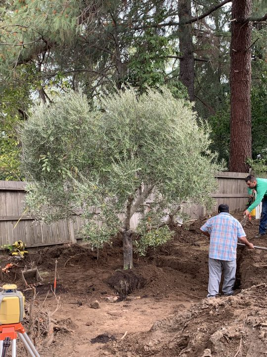 Olive Tree in planting hole