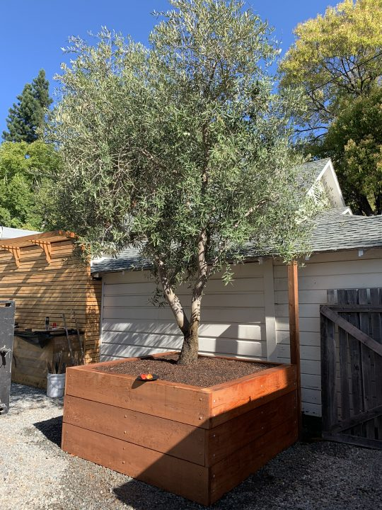 Olive tree planted in raised box