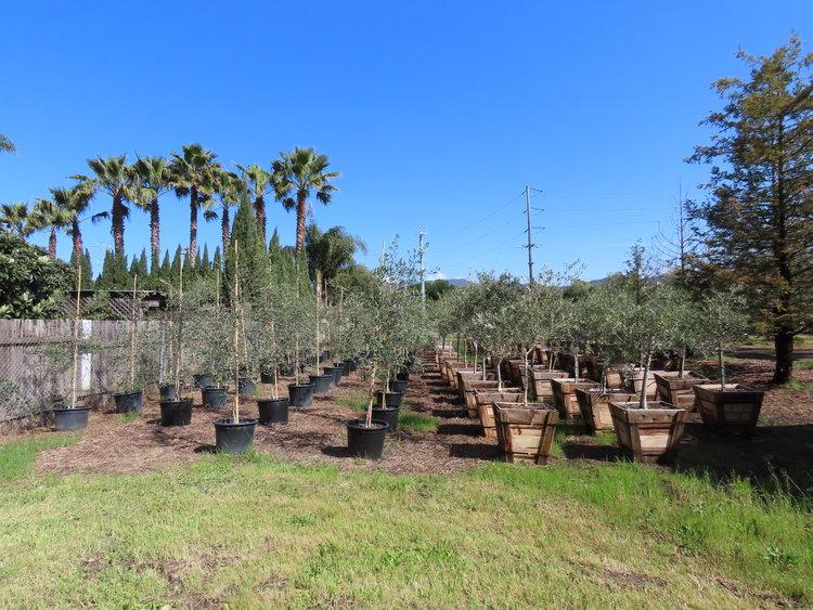 Olive tree nursery
