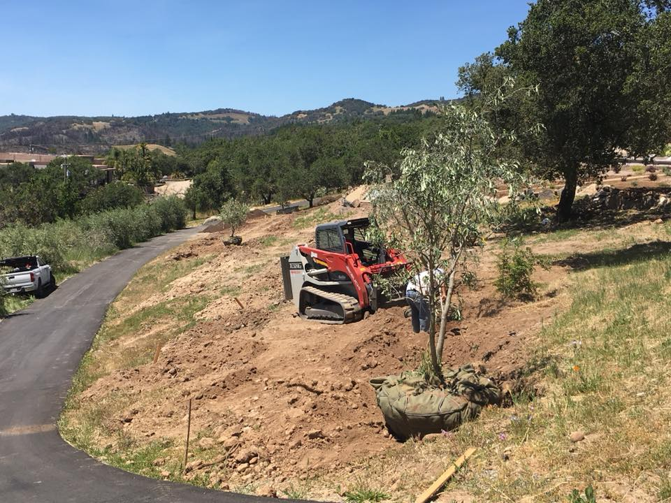 Planting olive trees