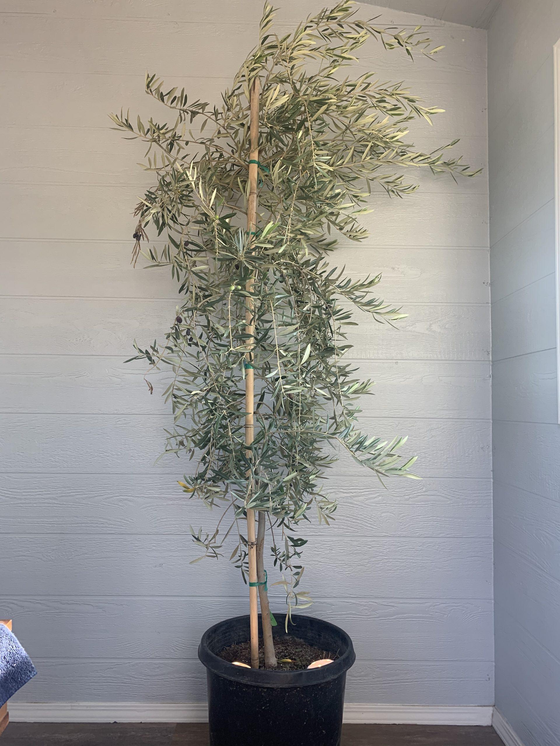 15g Maurino Olive Tree