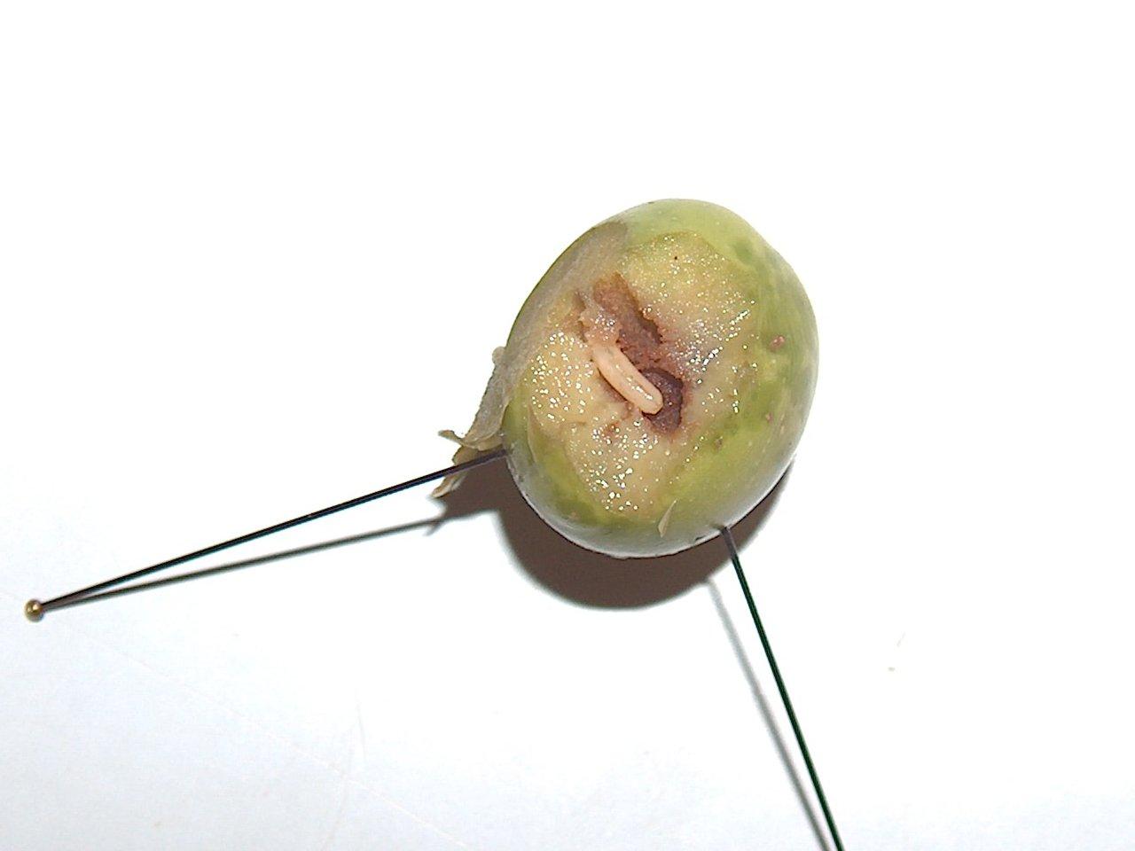 Larvae in Olive