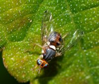 Olive Fruit Fly