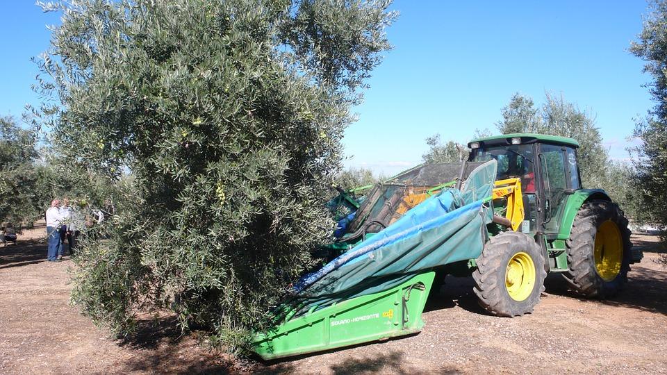 olive tree harvester