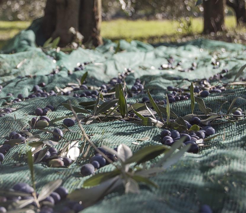 olive tree net for olives