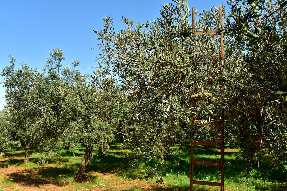 olive trees with ladder for harvesting