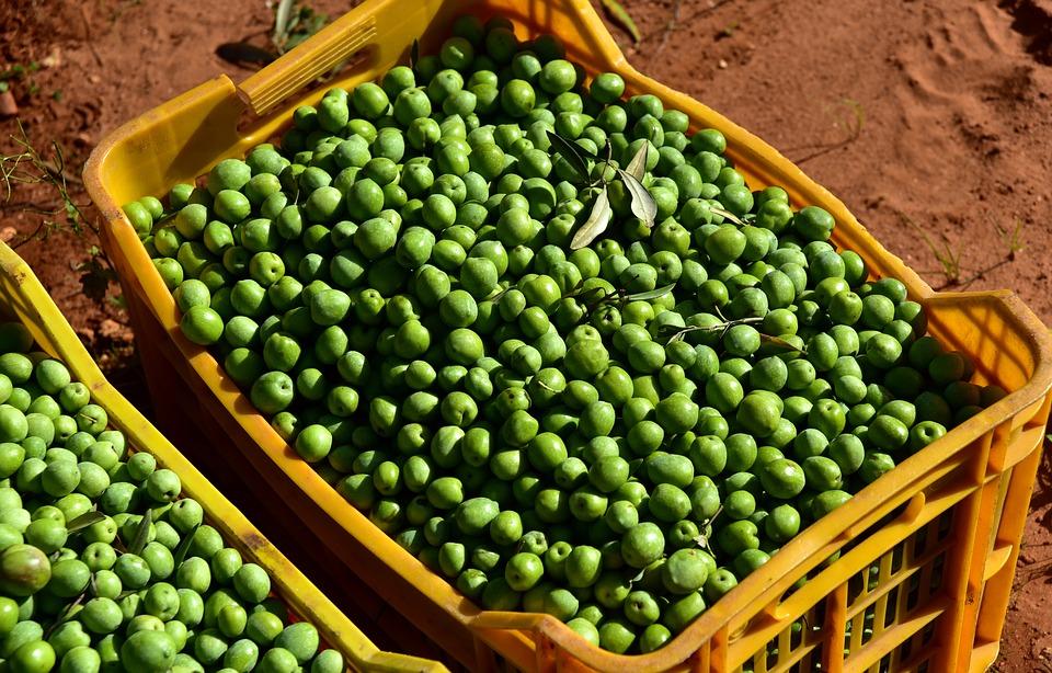 Picked olives at harvest in bin