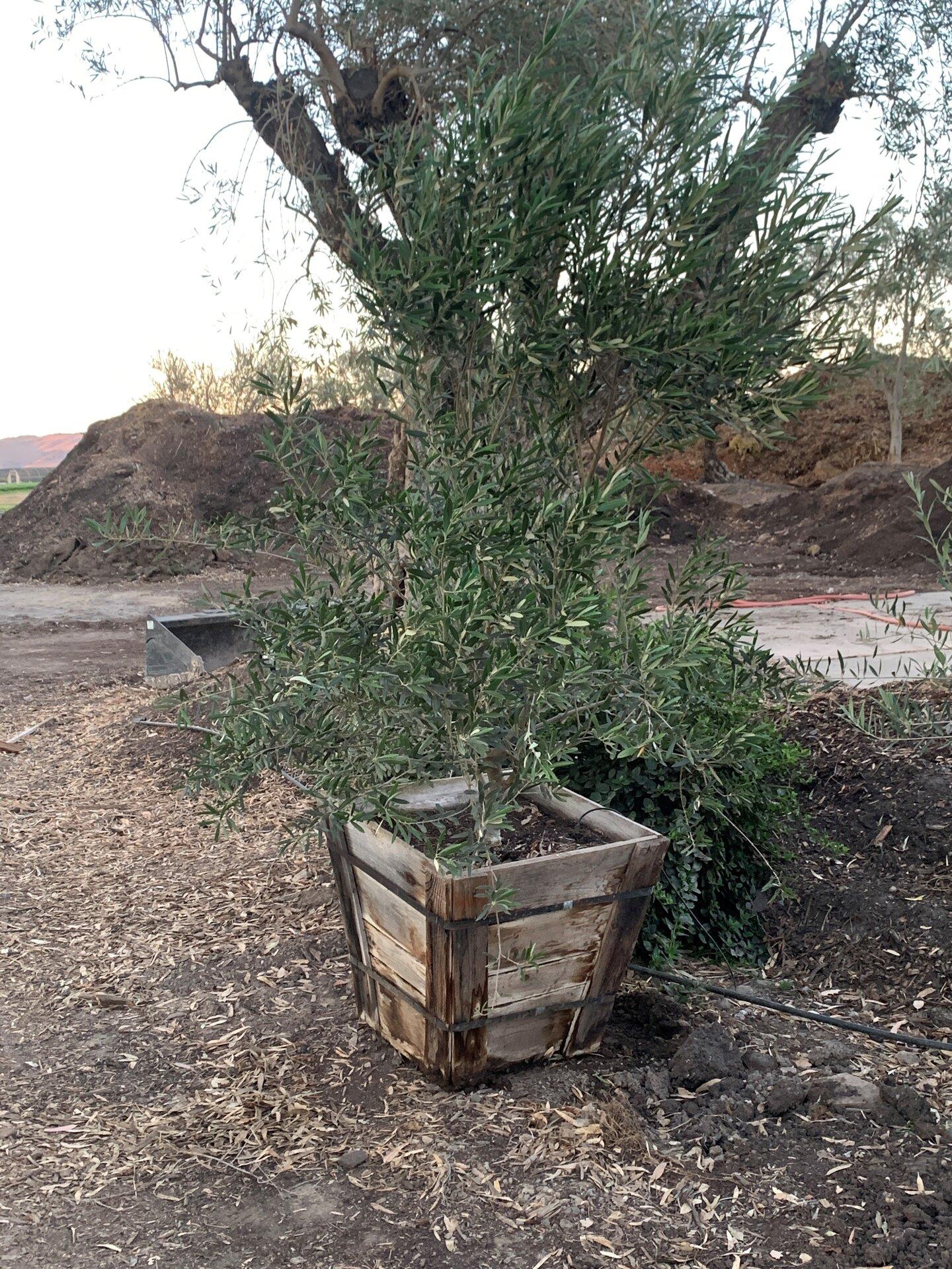 Wilsonii Olive Tree